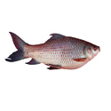 Frozen, Nile perch (Lates niloticus) and snakeheads (Channa spp.)
