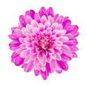 Fresh cut chrysanthemums and buds, of a kind suitable for bouquets or for ornamental purposes